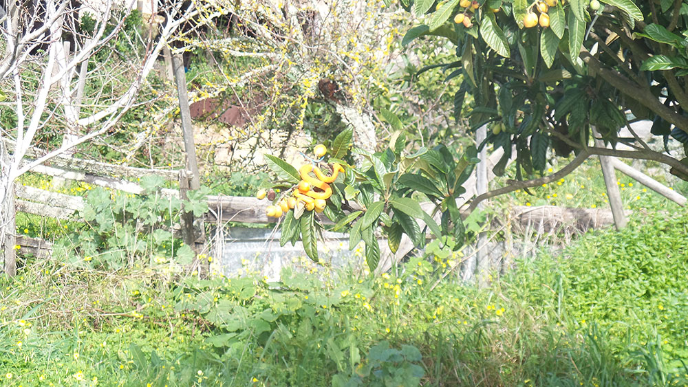 We were somewhat startled to see a bright orange snake sitting in a tree — until we realised it's a decoy to keep birds off the ripening fruit!