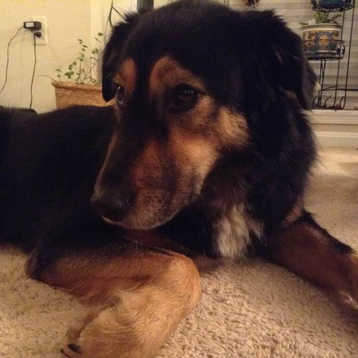 Ella, a Husky x Shaar Mountain Dog