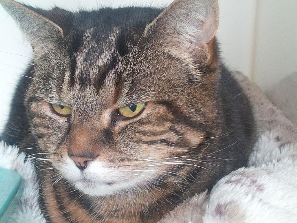 Stunning tabby cat Bilbo