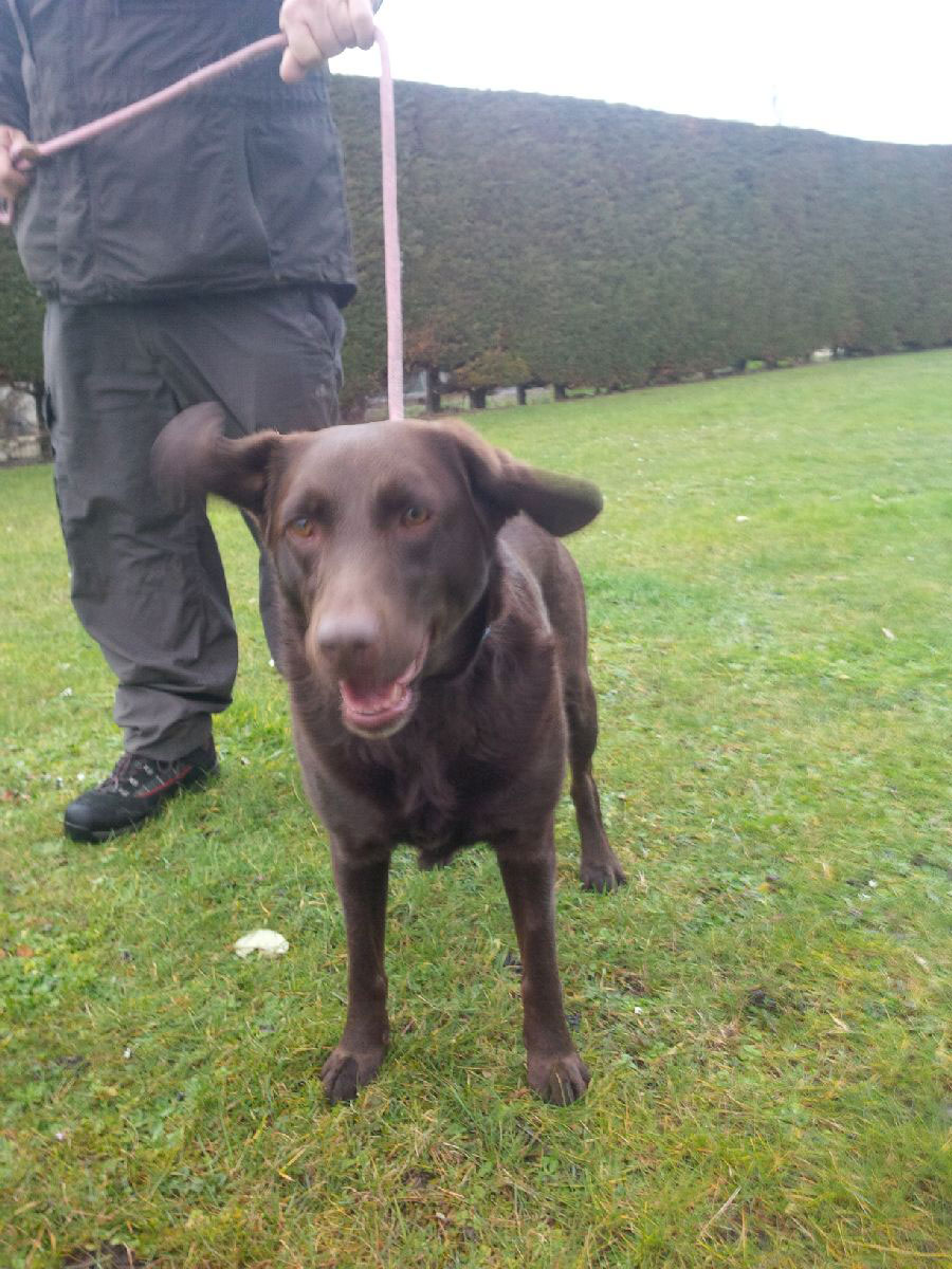 Chocolate Lab Maisie with flying ears!