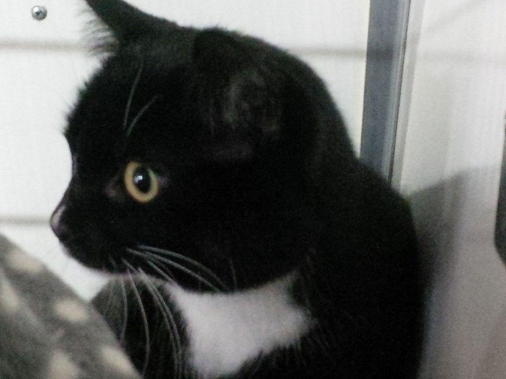 Black-and-white cat Priha