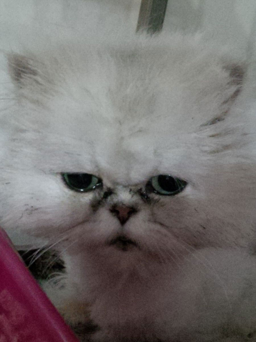 Fluffy Chinchilla cat Fifi
