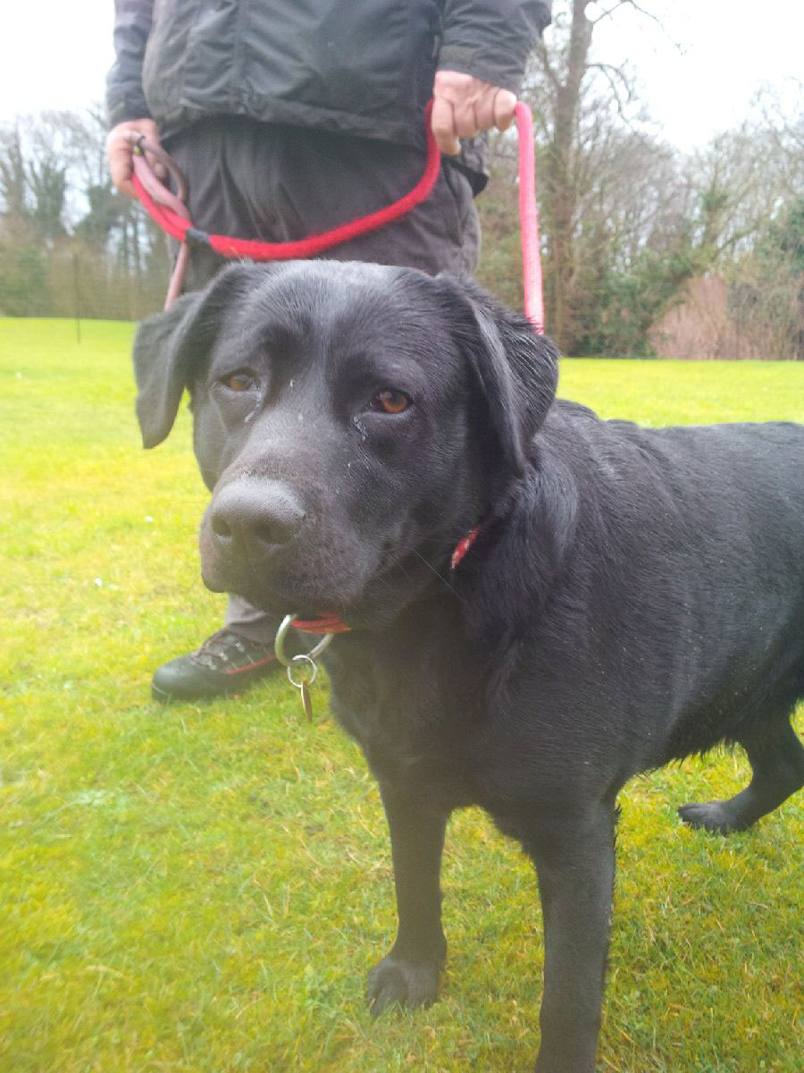 Gorgeous Black Lab Poppy