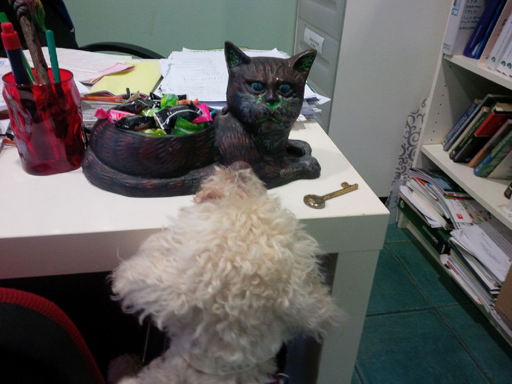 Bichon Frise Cara eyeing up an interesting cat-shaped tray of sweeties at the vet