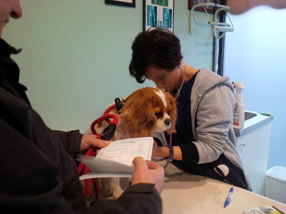 King Charles Spaniel Lola was a good girl at the vet