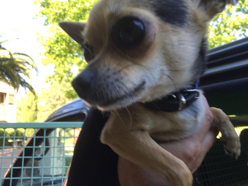 Cute Chihuahua Joy