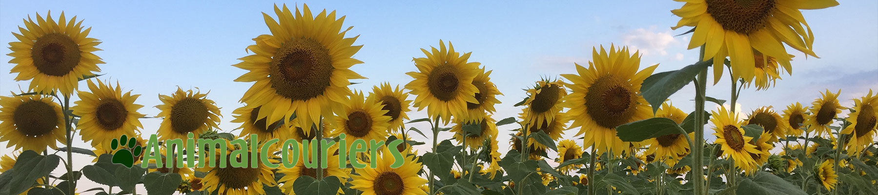 a sunflower field seen by Animalcouriers
