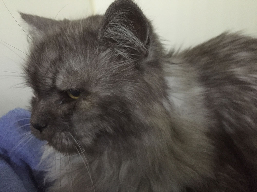 Gorgeous grey floof Russo