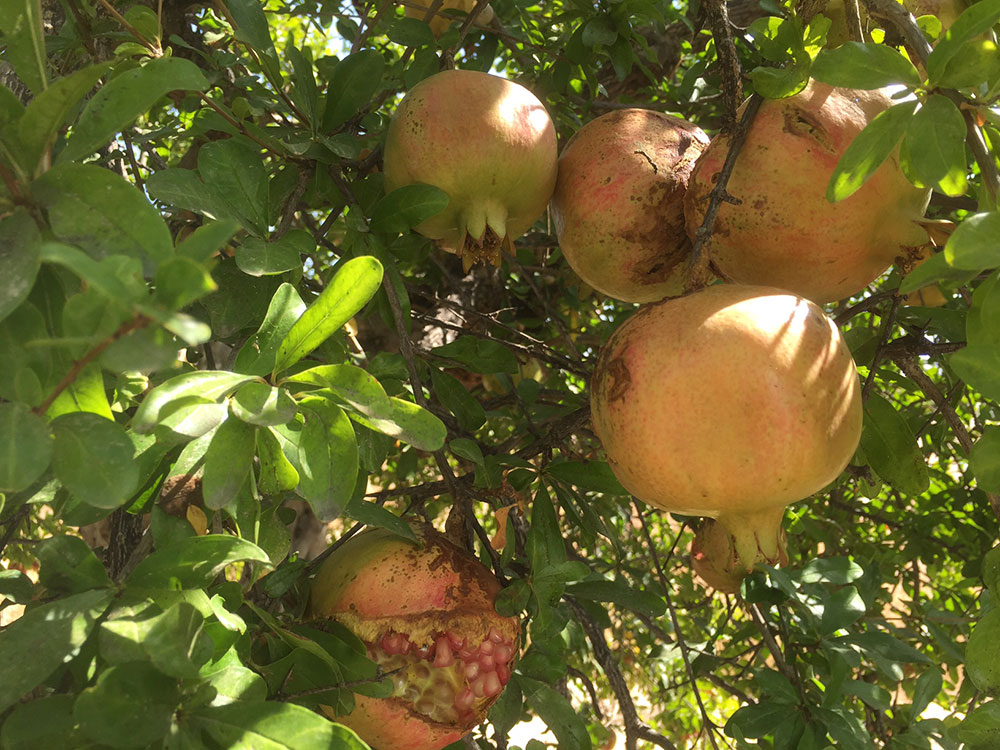 …and laden pomegranate trees
