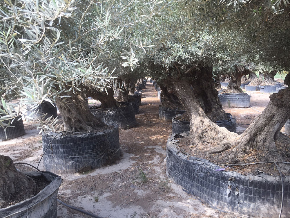In Elche we admired ancient olive trees…