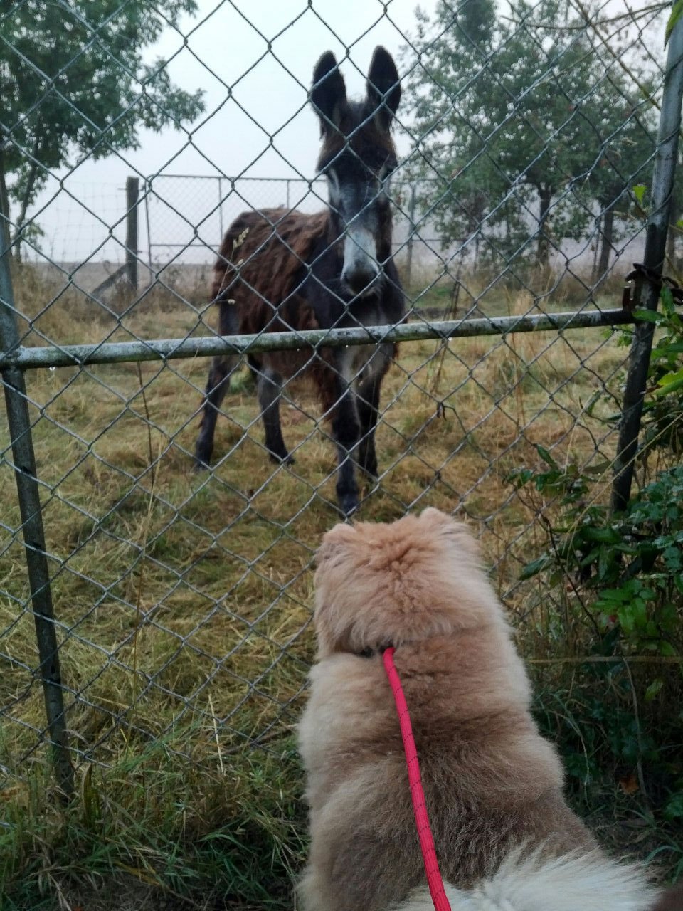 One of our passengers, Lenny, meeting a donkey while out on his walk — mutual fascination!