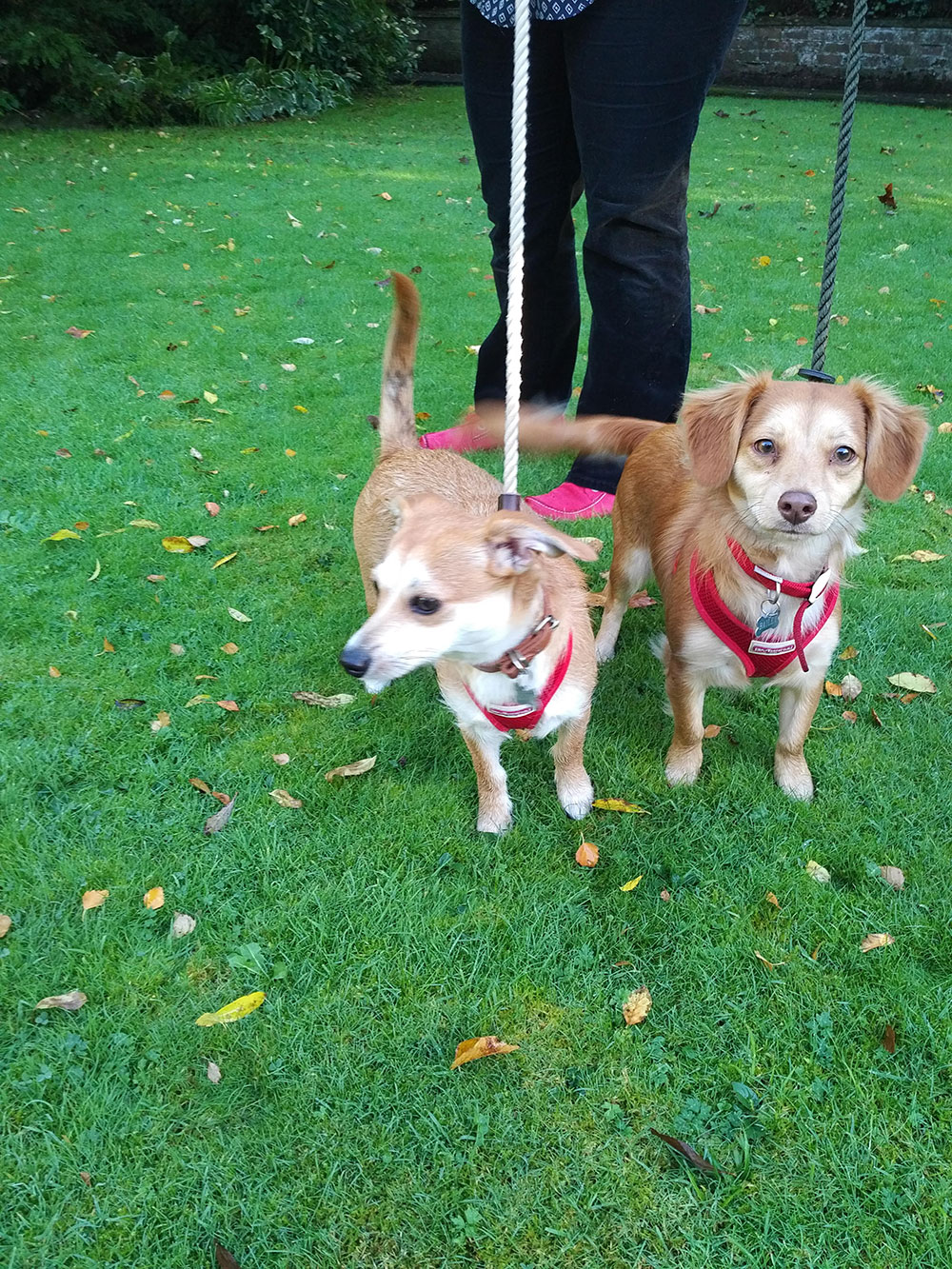 … Bailey (L) and Oliver (R), a pair of Dachshund cross Chihuahuas. This young sister and brother are great fun and are devoted to Fleur.