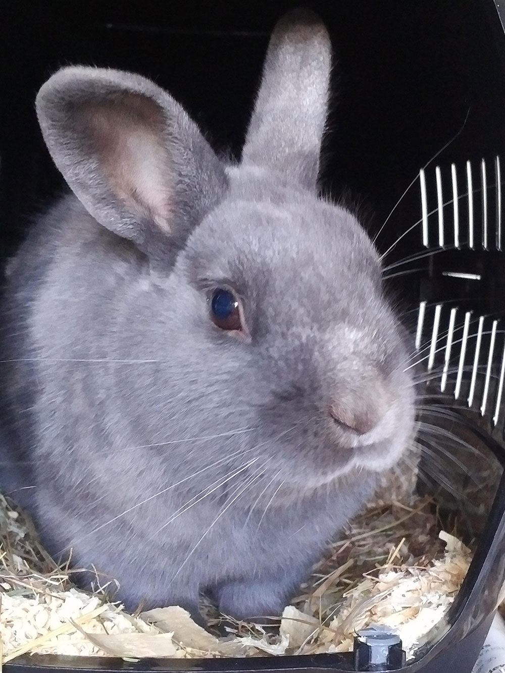 Smokey grey rabbit passenger