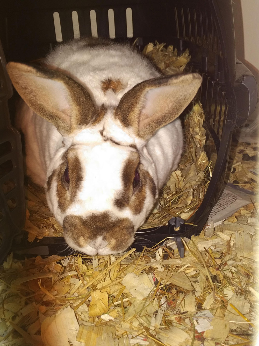 Oreo white spotted rabbit