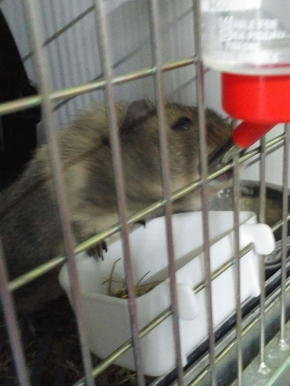 One of the two guinea pigs enjoying a drink