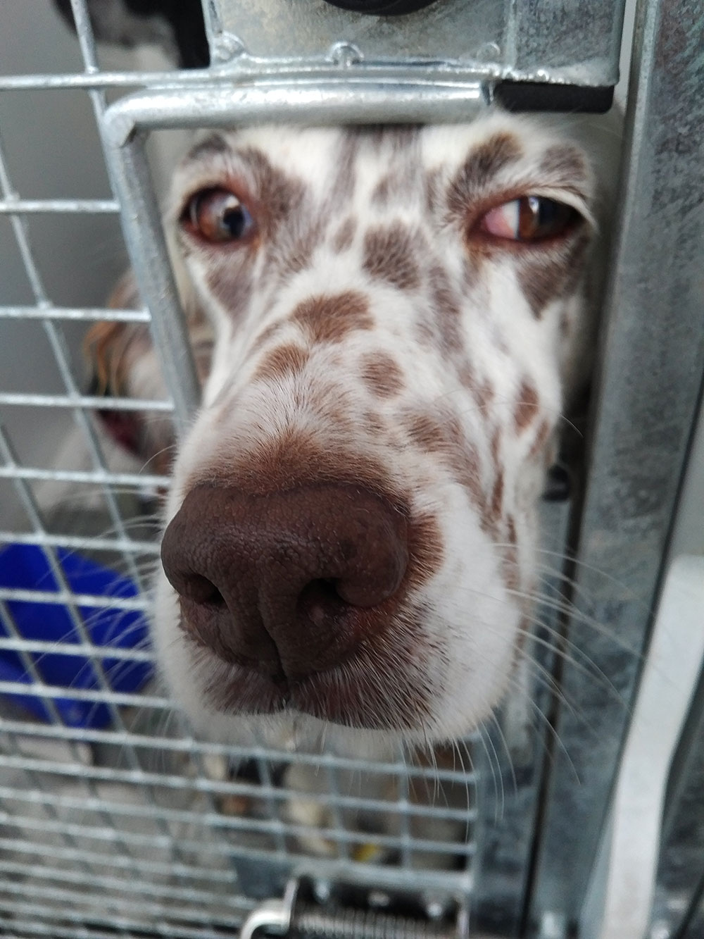 Sofie waiting for her microchip to be read at Calais
