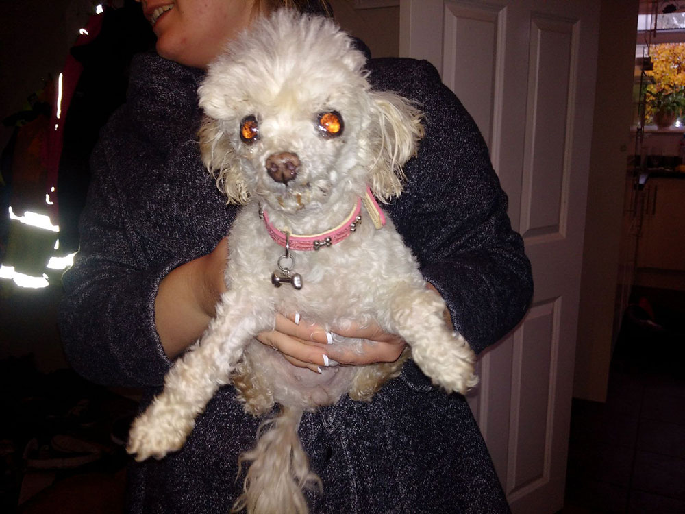 Toy Poodle Peaches, whose back story is rather remarkable…