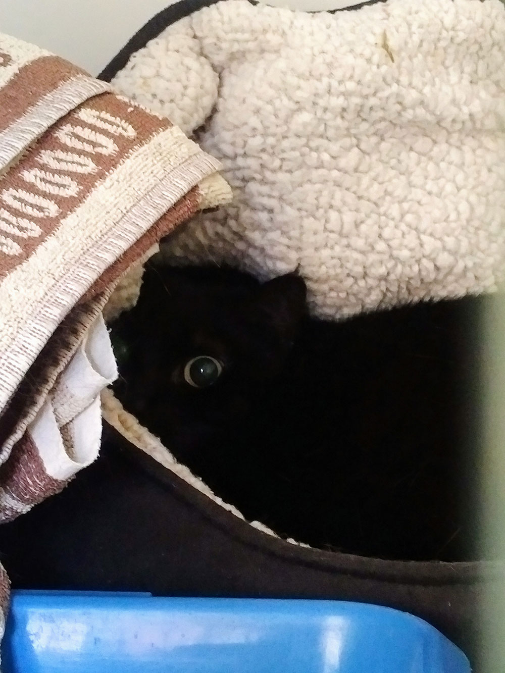 Fabulous slinky black Moggie, snuggled in a cosy bed