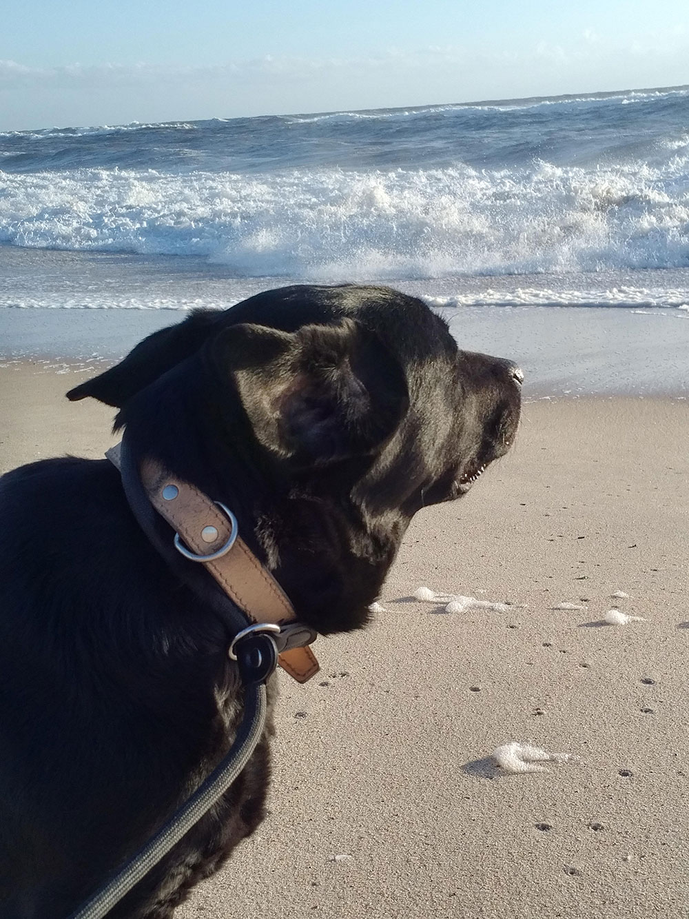 The dogs enjoyed good long walks — here's Nala watching the waves