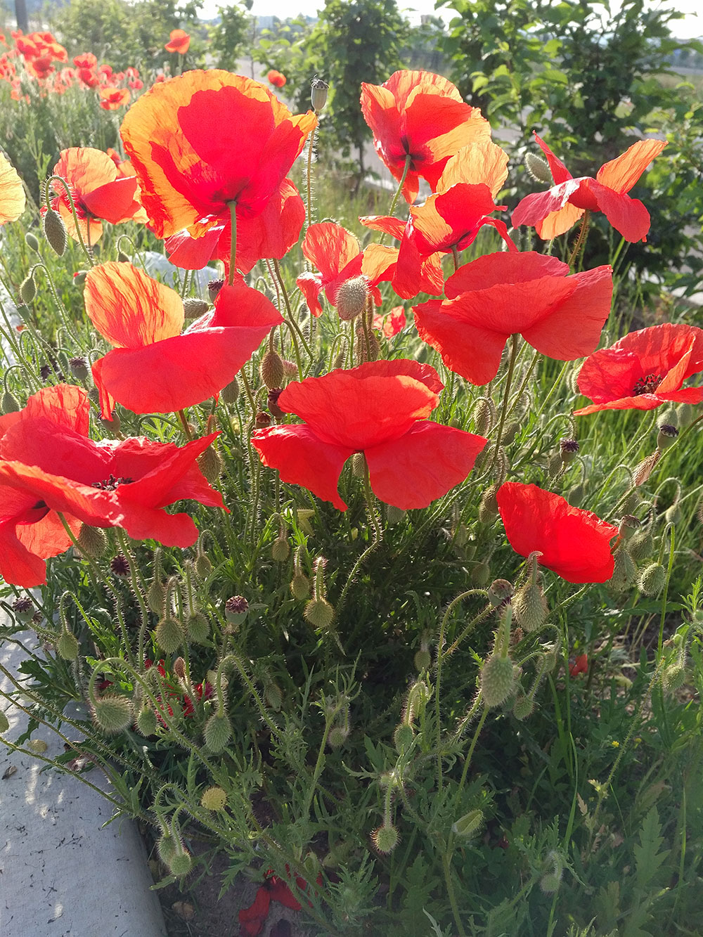 Spotted in northern France — poppies, a symbol of the First World War, are in bloom everywhere. Together with the graveyards in this part of France, they're a poignant reminder of all those very young men who lost their lives in battle.