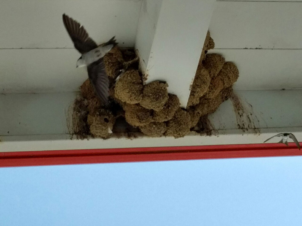 from Portugal : Housemartins (we think) nesting in the beams