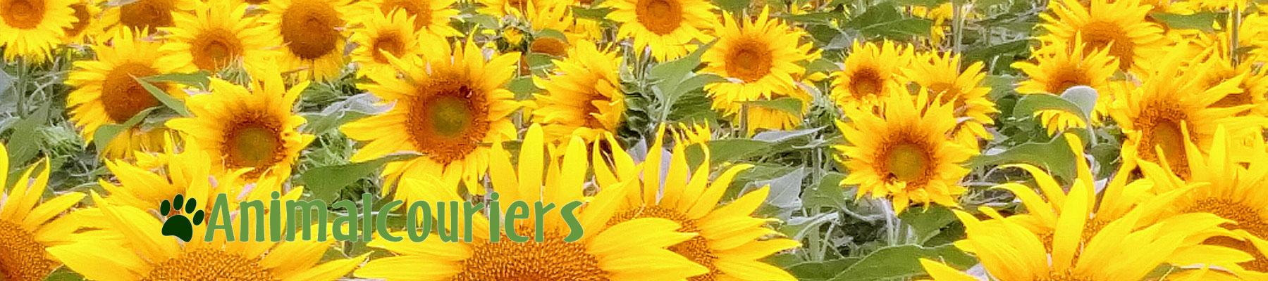 recent road trip sunflowers