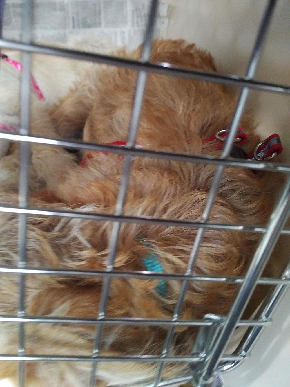 Gorgeous Mindy, a sleepy ball of fluff