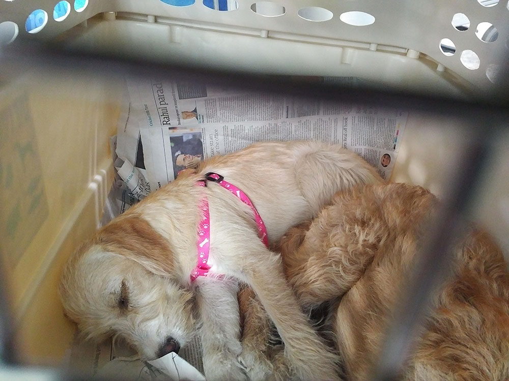 So many of the dogs who travel from Greece are calm and placid. There must be something in the water! Here are Max and Mindy from Lesvos, a pair of Wild at Heart dogs, on their way to JoJo in London.