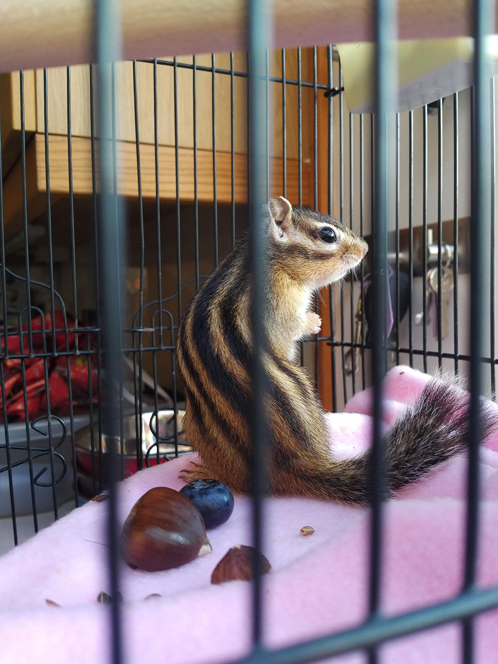 Piccolo the chipmunk has striking markings and a wonderful fluffy tail. She loves snacking on fresh fruit and nuts.