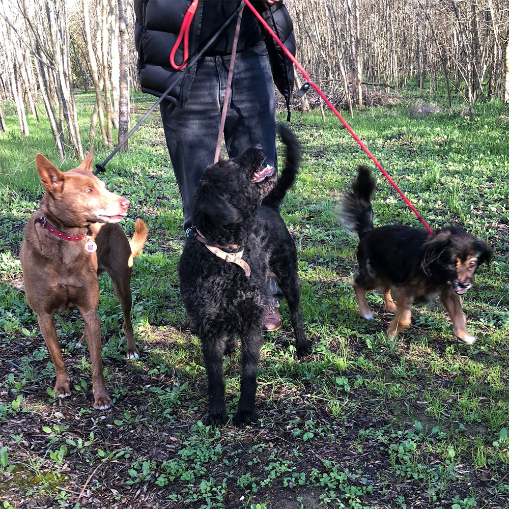 Ava, Tipi and Leo enjoying a woodland walk with courier Marc