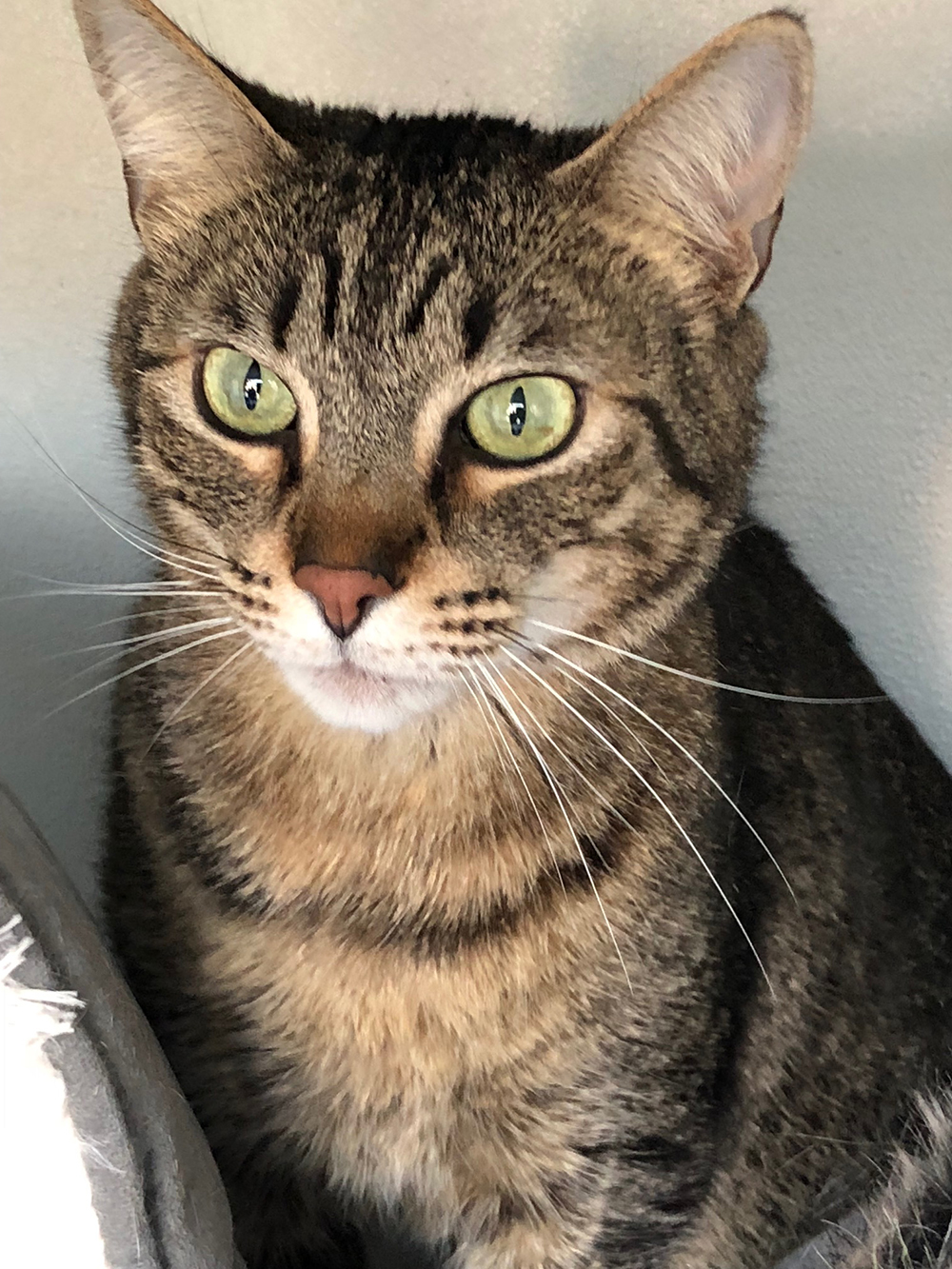 pets travelling to Spain — Gorgeous tabby Alex has amazing green eyes