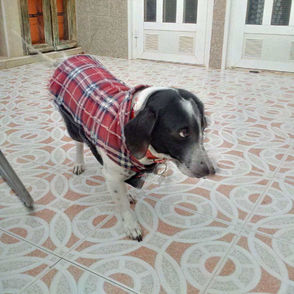 Tommy looked a little self-conscious about his tartan coat in Spain, but he'll blend in nicely in Scotland