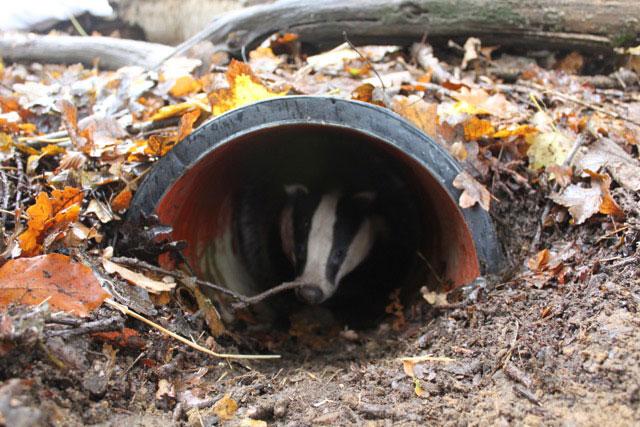 Badger emerging from the sett