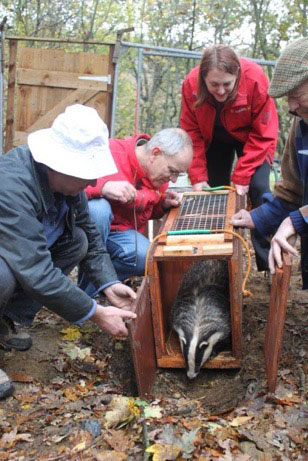 A badger being coaxed out