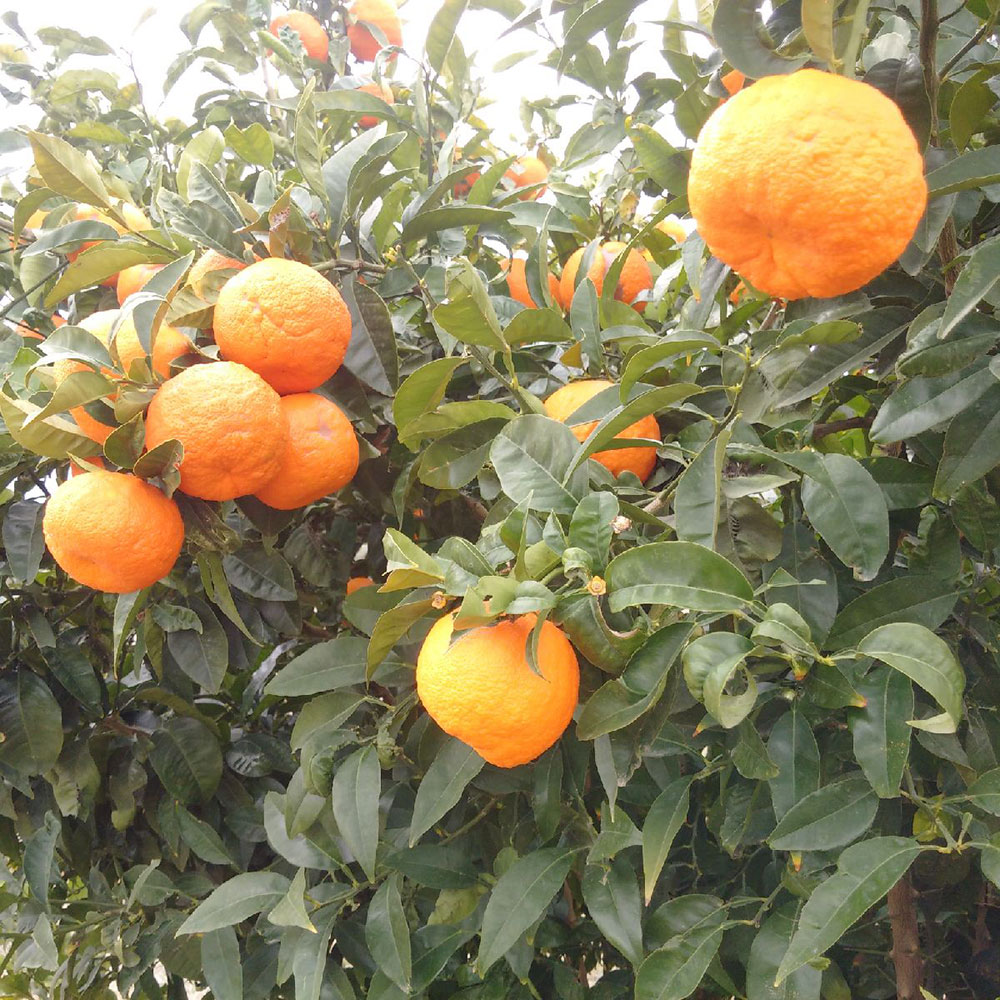 The oranges and mandarins are especially sweet this year