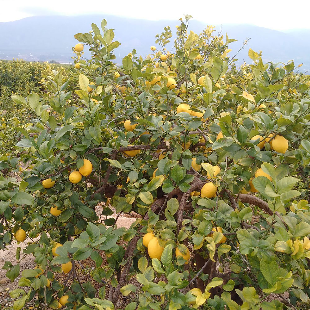 It's big-time citrus season in Spain