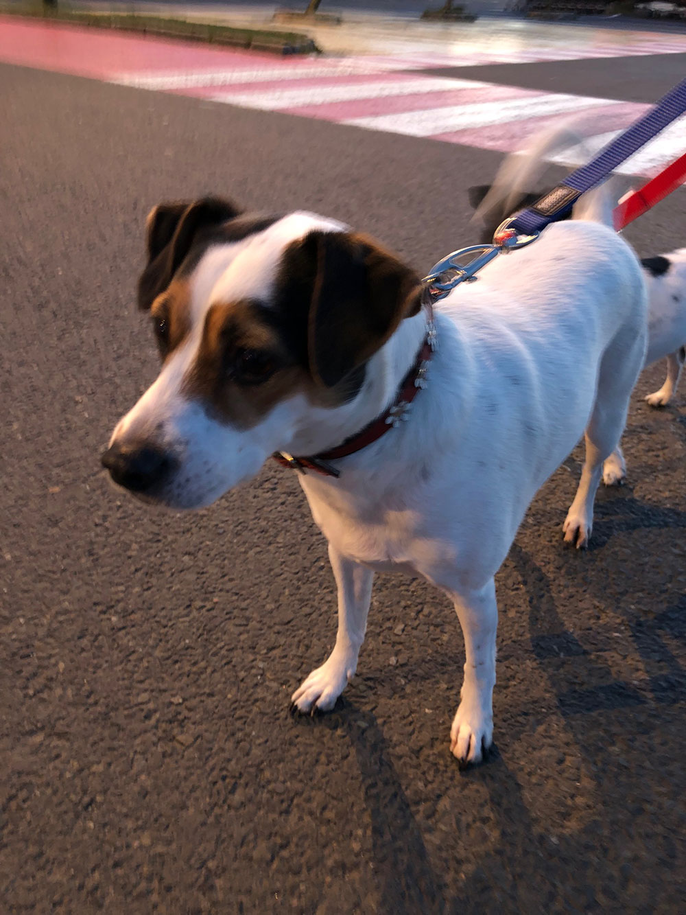 Parson's Jack Russell Lulu — check out her waggy tail