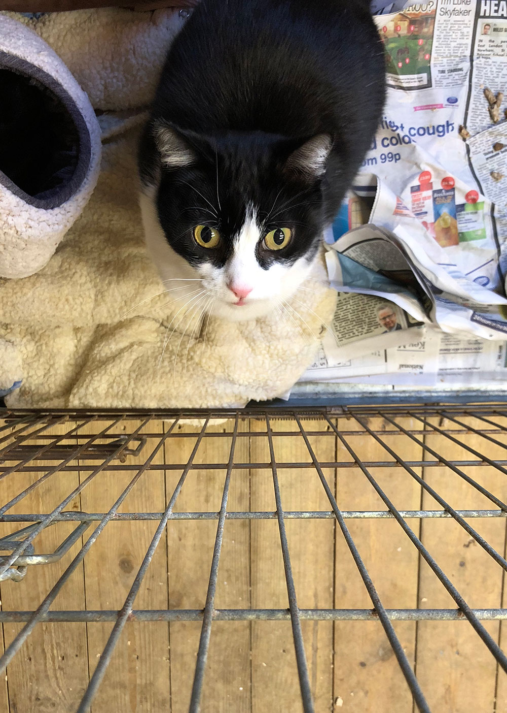 Handsome tuxedo cat Oscar