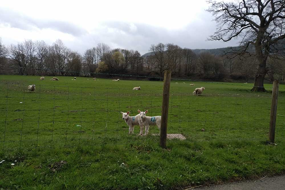 Spring lambs gambolled in the Welsh fields