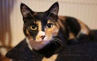 Stunning calico cat Tammy