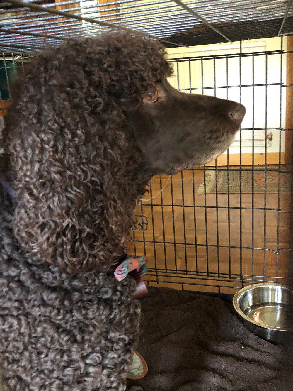 Murphy spent the night at courier M's home before his trip north. What a curly-haired chap he is!