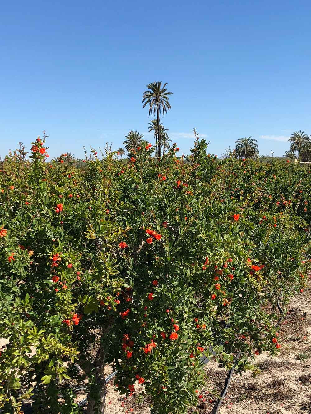 We dropped Staffie Maxie off for a short stay at Amber Lodge Kennels near Alicante. The area is well known for its nature park, and for its pomegranate orchards which are in full bloom just now.