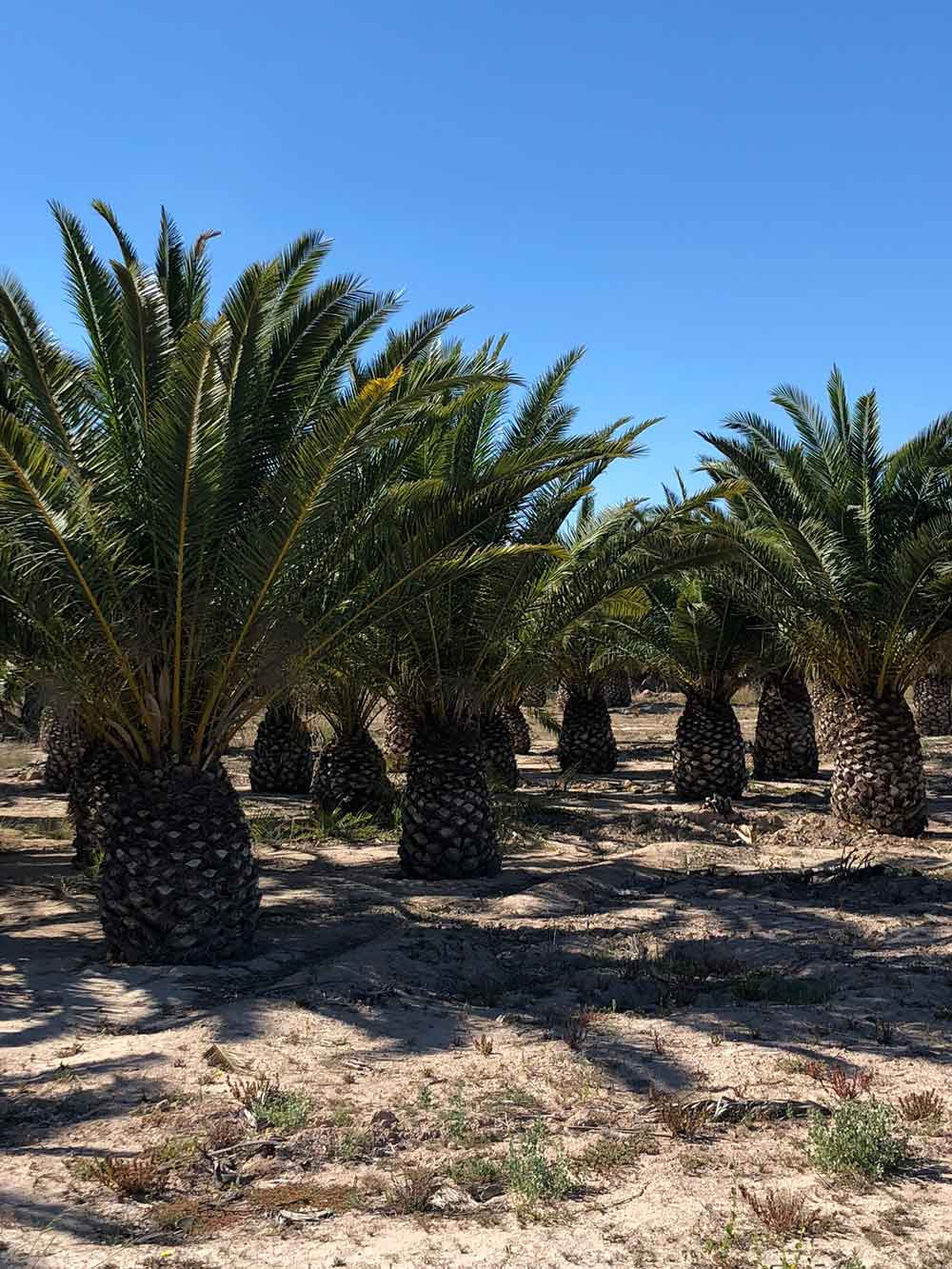 Palm trees are also cultivated in the area. They're used in landscape gardening and on film sets, and some are even exported as far as the Middle East.