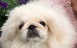 We're transporting this precious bundle of fluff to Helen, a fellow Pekingese breeder in Hampshire