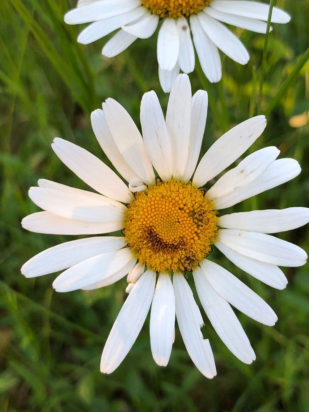 …and daisies