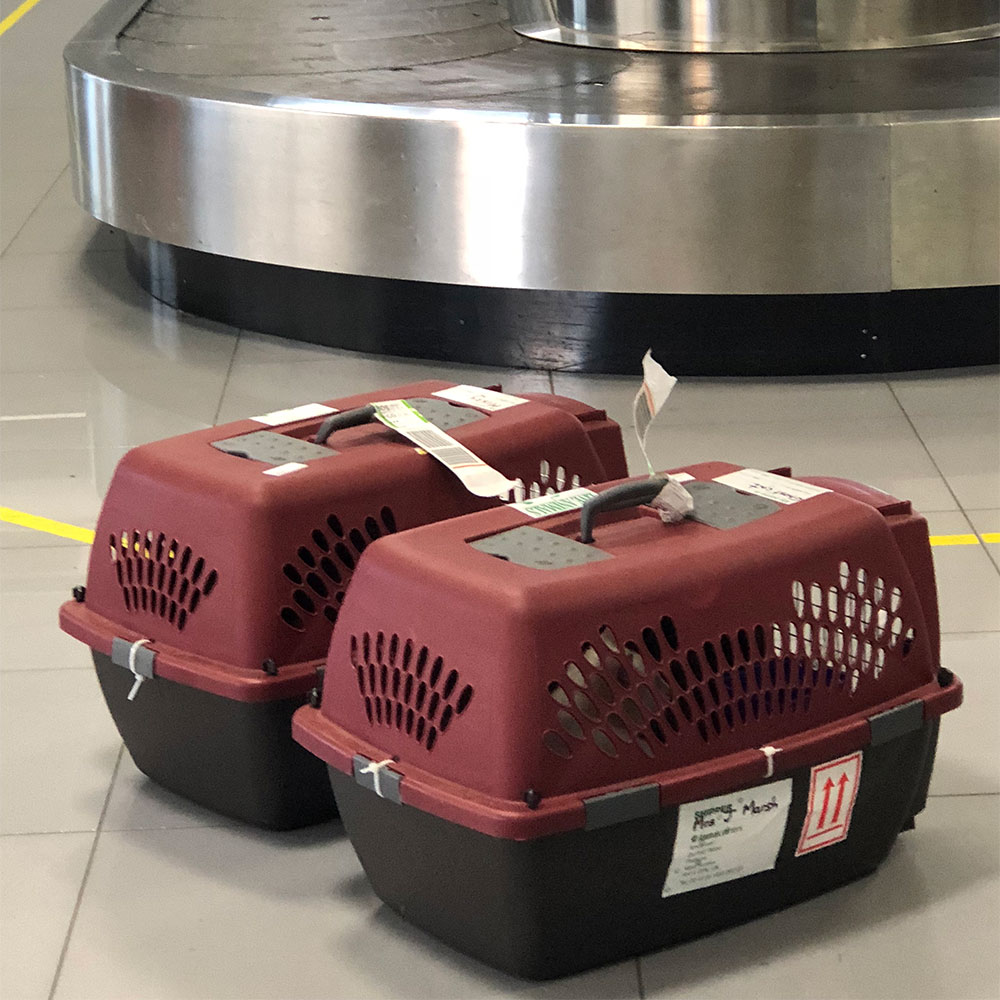cats flying to Italy: On arrival at Puglia, Misty and Ghost were carried carefully off the plane by the baggage handlers, who then kindly went to get a trolley while courier J waited with the cats