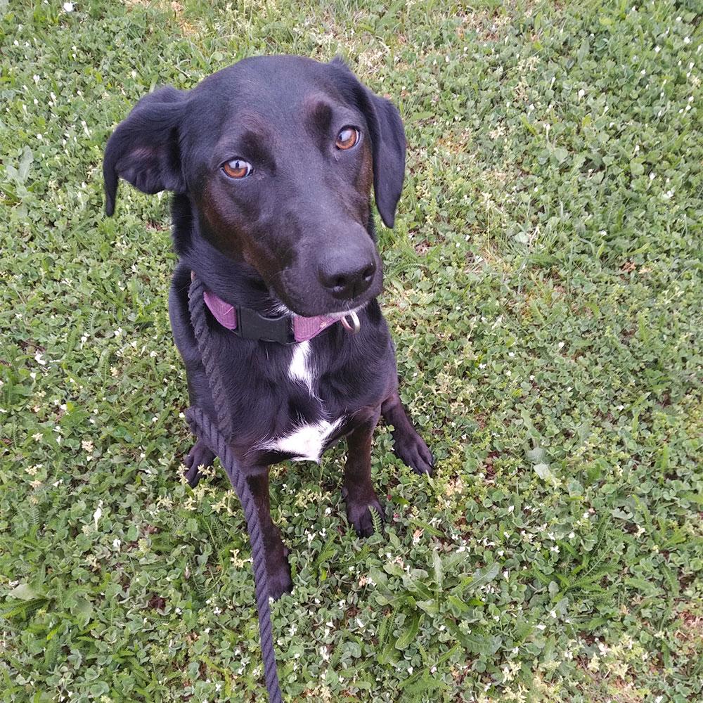 Attentive Bailey, keen as mustard on walks