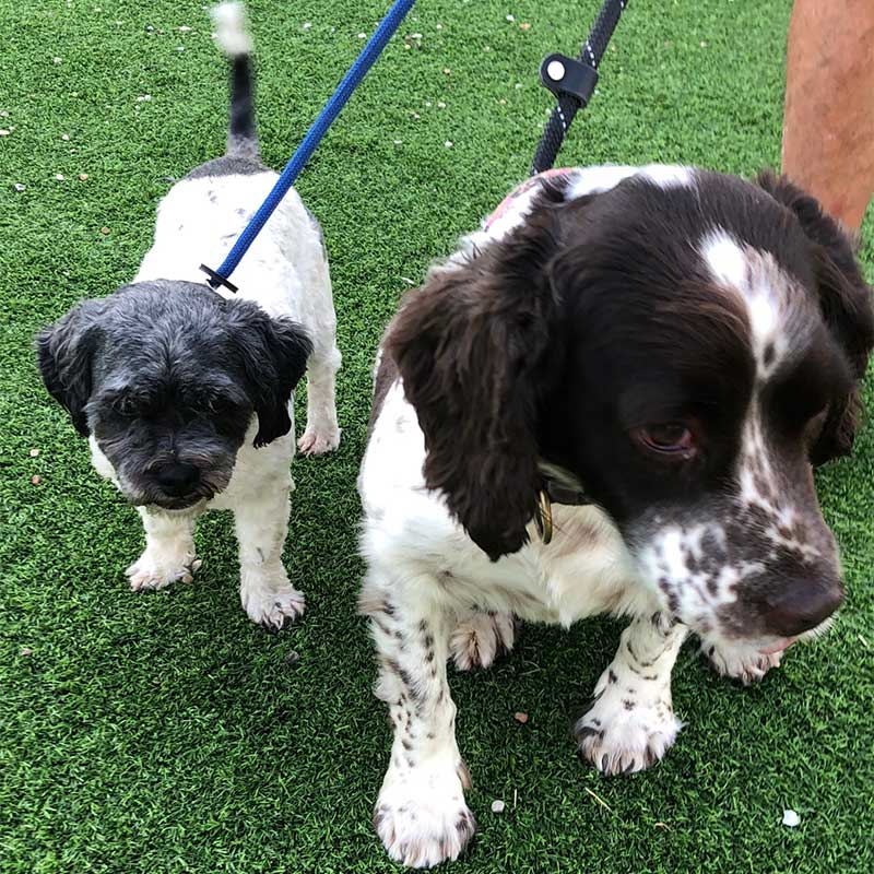 Shih Tzu Saffron and Springer Sophie are great mates and love their walks