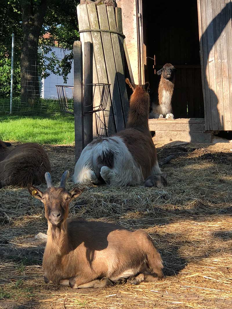 Alpacas, goats and rabbits happily shared a paddock