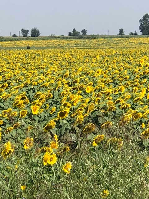 Sunflowers spotted in Romania